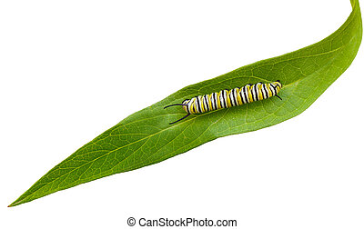 Caterpillar - Mature Monarch Caterpillar on green swamp...