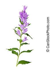 Bell Flower - Fresh blue bell flowers isolated on white...