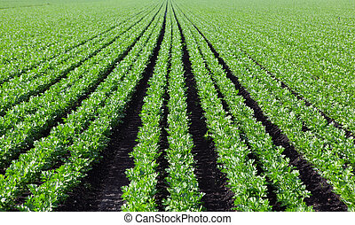 Celery Field - Celery plant on the field in the summer