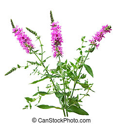 Purple Loosestrife  Lythrum salicaria wild flower plant