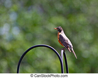Male American Robins resting on the plant hanger post