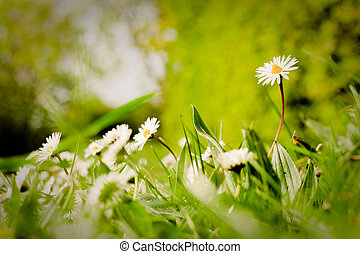 Amongst The Daisies - A ground level shot of daisies, with...