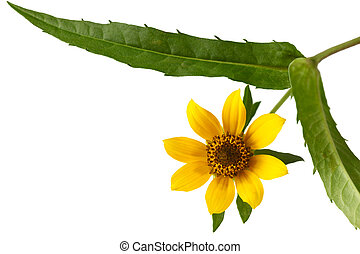 bur-marigold, skinięcie