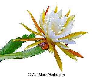 Epiphyllum laui Flower - Epiphyllum laui cactus flower and...