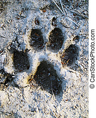 Footprint of wolf - Mark of wolf in the mud in the way