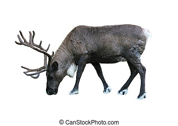 Caribou - single bull caribou isolated on white background