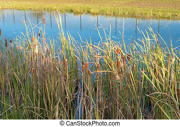 cattails and reed  - ripe cattails and reed in a small pond