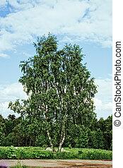 Betula at summer