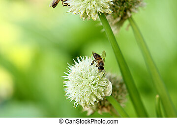 green onion flower - onion flower with other onion flowers...
