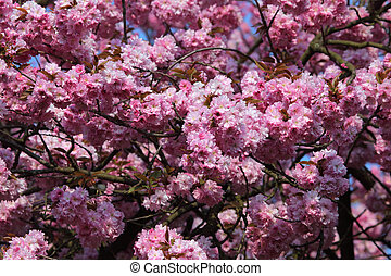 Beautiful blooming cherry tree in spring