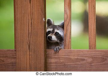 Cute raccoon - A raccoon peeks through a deck railing