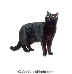 Black cat standing on white background