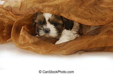 puppy hiding - adorable shih tzu puppy peeking out under...