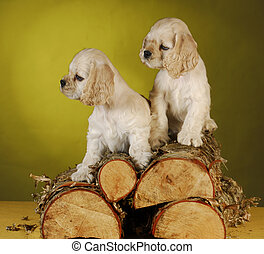 two puppies playing on wood pile - two cocker spaniel...