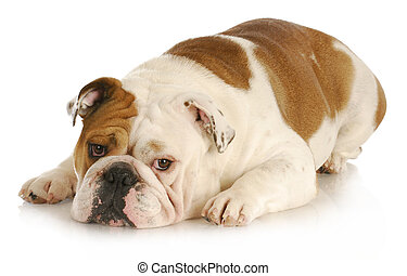 sad dog - english bulldog laying down with sad expression on...