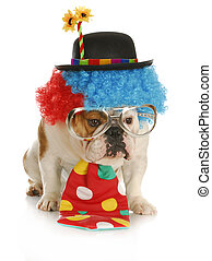 dog dressed like a clown - clown - english bulldog wearing...