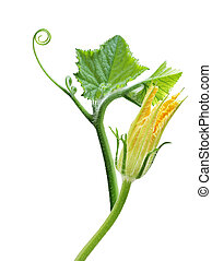 Squash leaves and flower