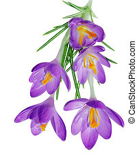 Crocus - Purple blue crocus flower plant isolated on white