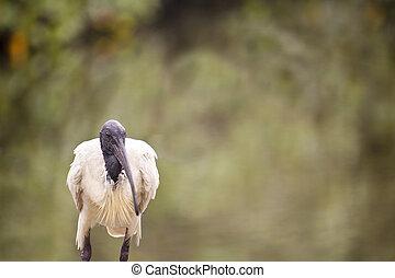 Ibis - Australian white ibis bird