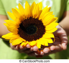 sunflower in the hands of a girl