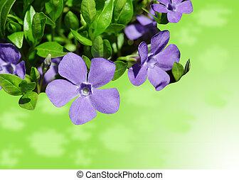 Vinca Minor - Vinca minor periwinkle in bloom against a...