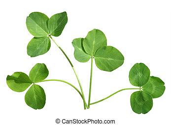Four shamrocks - Four shamrock leaves isolated on white...