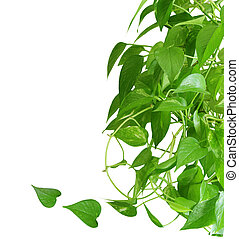 Pothos houseplant - Evergreen houseplant pothos isolated on...