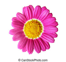 Pink Daisy - Fresh pink daisy isolated on white background