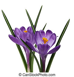 Two purple crocus flowers - Two fresh purple crocus flowers...