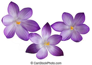 Three purple crocus flowers