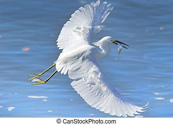 florida birds - Snowy Egret in action with catch and full...