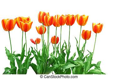 orange, tulipe