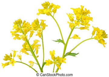 Rapeseed  - Branch of Rapeseed flower isolated on white