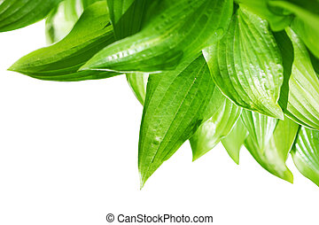 Hosta - Green hosta plant isolated on white background,