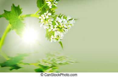 Garlic Mustard Plant - Green Alliaria officinalis Garlic...
