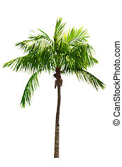 Coconut Tree - Single coconut tree isolated on white...