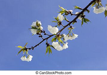 花, 櫻桃