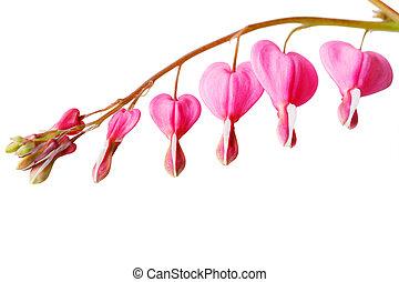Bleeding Heart Flower - Bleeding heart flower isolated on...