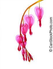 Bleeding Heart - Bleeding heart temperate flower isolated on...