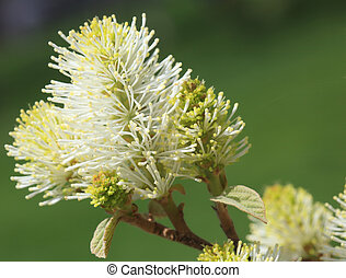Bottlebrush flower - Bottle brush fothergilla major flower...