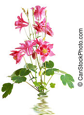 Red Star Columbine - Red star columbine aquilegia hybrida...