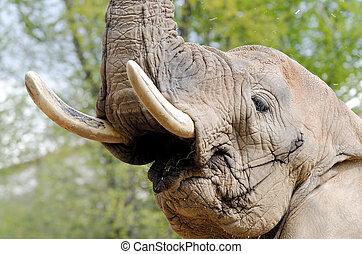 elephant - an african elephant