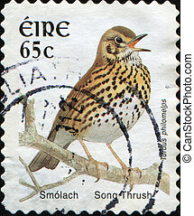 Song Thrush - Turdus philomelos - IRELAND - CIRCA 1998: A...