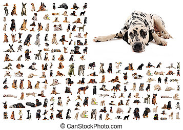 group of dogs and dalmatian - composite picture with...