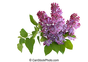 Branch of lilac flower isolated on white background