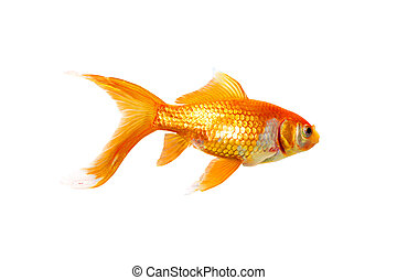 Single Goldfish - Alive single goldfish isolated on white...