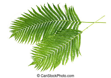 Ferns - Two fresh ferns isolated on white background