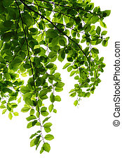 Elm Branch - Elm leaves on branch isolated on white...