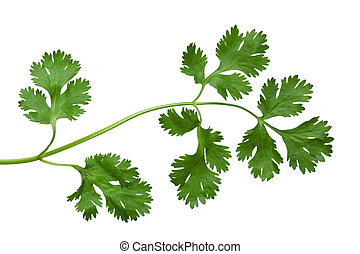 Cilantro - Branch of singlle cilantro coriander isolated on...