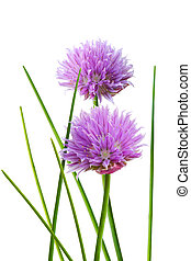 Chive Flower - Chive flower and leaf isolated on whtie...
